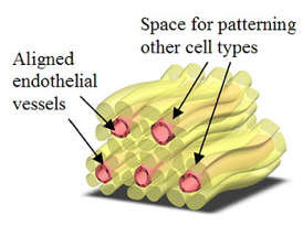 Schematic diagram illustrating the concept of a prevascularized hydrogel. The adjacent fibers could be used to pattern other cell types around the vessels.