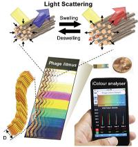 Bio-inspired sensors are made from bacteriophages that mimic the collagen fibers in turkey skin. When exposed to target chemicals, the collagen-like bundles expand or contract, generating different colors. The researchers also created a mobile app to be used with camera phones to help analyze the sensor's color bands.