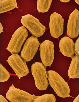 As Bacilli bacteria dry out and form spores (shown here), they wrinkle, and as they rehydrate, they swell. A team lead by former Wyss Institute resident scholar Ozgur Sahin harnessed these humidity-driven changes to power an actuator and generate electricity. Credit: Xi Chen/Columbia University