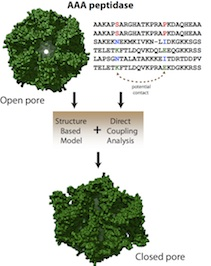 Co-evolved mutations in genetic sequences that code proteins show researchers how a protein is likely to fold and what forms it may take as it carries out its function. Scientists at Rice University used the technique called direct coupling analysis in combination with structure-based models to find a previously hidden conformation of a molecular motor responsible for degrading misfolded proteins in bacteria.Credit: Faruck Morcos/Rice University
