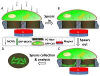 An external magnetic field drives magnetic carbon nanotubes toward a cell cultured on a polycarbonate filter. To indicate the molecular extraction, the cell is transfected for GFP overexpression beforehand. B. MCNTs spear into the cell under magnetic force. C. MCNTs spear through and out of the cell and extract GFP. GFP-carrying spears are collected in the pores of a polycarbonate filter. D. GFP representing the intracellular signal molecules can be used for analysis of individual pores.
