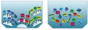 Graphic depicts the tethered enzymes and free-floating enzymes.