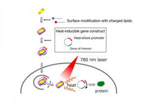 This is the delivery and activation of genes by gold nanorods. Gold nanorods coated with charged lipids efficiently bind to DNA and penetrate cells. The team designed an artificial gene that is turned on by heat generated by the gold nanorods upon exposure to near infrared light illumination.