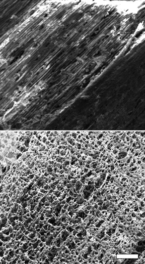 Scanning electron microscope images show pristine pine at top and laser-induced graphene on pine (P-LIG) produced at Rice University at bottom. The scale bar is about 500 micrometers. (Credit: Tour Group/Rice University)