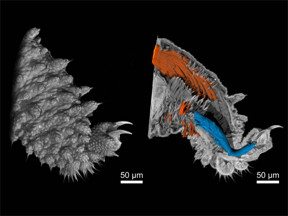 Nano-CT images of a velvet worm leg. Left picture: Surface of the leg, right picture: A view inside the tissue with muscle fibers highlighted. (image: Müller, Pfeiffer / TUM / reproduced with permission from PNAS)