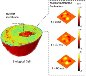 Measuring sub-nanometer membrane fluctuations for nuclear mechanics.