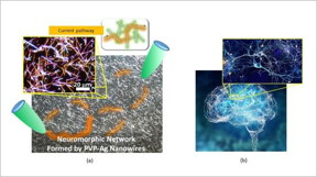 (a) Micrograph of the neuromorphic network fabricated by this research team. The network contains of numerous junctions between nanowires, which operate as synaptic elements. When voltage is applied to the network (between the green probes), current pathways (orange) are formed in the network. (b) A Human brain and one of its neuronal networks. The brain is known to have a complex network structure and to operate by means of electrical signal propagation across the network.
