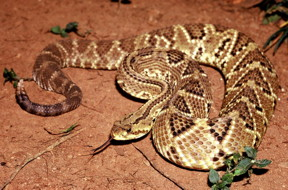 Crotoxin, extracted from the venom of the South American rattlesnake Crotalus durissus terrificus, has been studied for almost a century for its analgesic, anti-inflammatory and antitumor activities