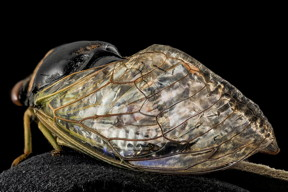 Researchers have demonstrated a new fabrication technique that allows them replicate the nanostructures found on cicada wings that make them water- and microbe-repellent.